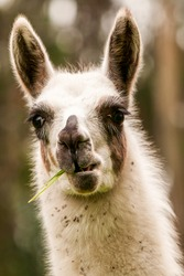 llama lama face south alpaca american the llama is a south american camelid widely used as a pack and meat animal by andean cultures since pre hispanic times llama lama face south alpaca american brow