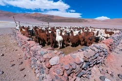 Llama, Lama glama, southamerican domesticated camelid in La Puna ecoregion of the Andes in Argentina South America, America