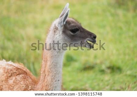 Llama (Llama glama) side portrait in the natural environment. Chile #1398115748