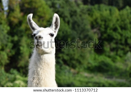 Llama looking obliquely at the camera