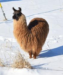 Llama Love.  Llama standing in snow is heart-shaped.