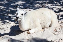 Llama. Mammal and mammals. Land world and fauna. Wildlife and zoology. Nature and animal photography.