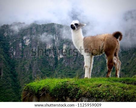Llama on Machu Picchu #1125959009
