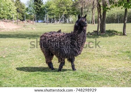 Llama on pasture #748298929