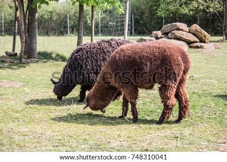 Llama on pasture #748310041