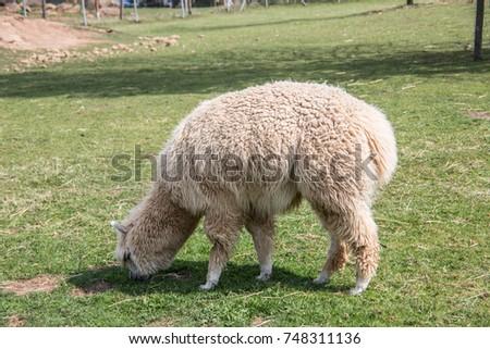 Llama on pasture #748311136