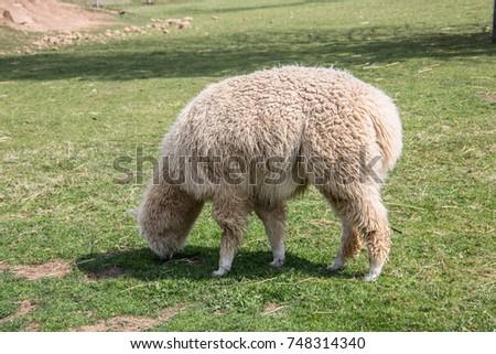 Llama on pasture #748314340