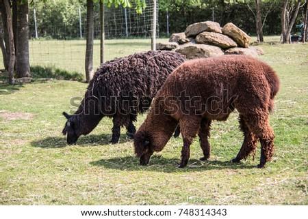 Llama on pasture #748314343