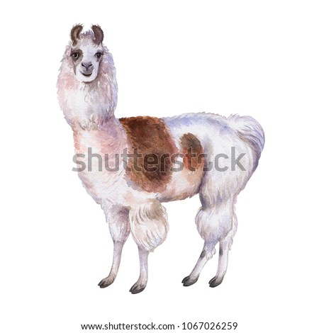 Llama or alpaca look on face. Hand-drawn watercolor illustration. Cute mammal animal painting isolated on white background. Template. Manual work. Close-up