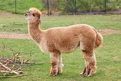 Llama or lama or alpaca is in the field. Concept of singing song by animal. Animals in the zoo.