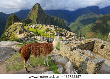 Llama standing at Machu Picchu overlook in Peru. In 2007 Machu Picchu was voted one of the New Seven Wonders of the World. #462722857