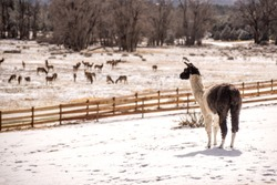 Llama stands in freshly fallen snow during a Colorado winter on a ranch in the Rocky Mountains with a herd of elk in the background. Big ears with a goofy face and endearing expression of an oddball.