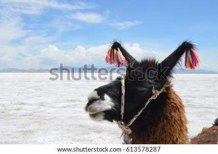 llama with a blue leash