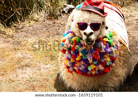 llama with dark shades in Peru, funny llama with clothes and hat, Cool llama, llama with costume. Cute llamas from Peru,beautiful llamas south america Peru.