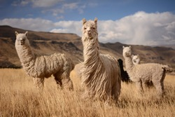 Llamas (Alpaca) in Andes Mountains, Peru, South America