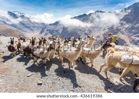 Llamas alpacas herd carrying heavy load up mountain trail, man backpacker photographing. El Choro trek, Bolivia mountains tourism.