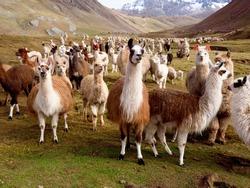 Llamas and Alpacas Of Peru