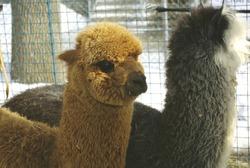 llamas animal sweet affectionate nature park