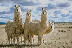 llamas group in their natural habitat