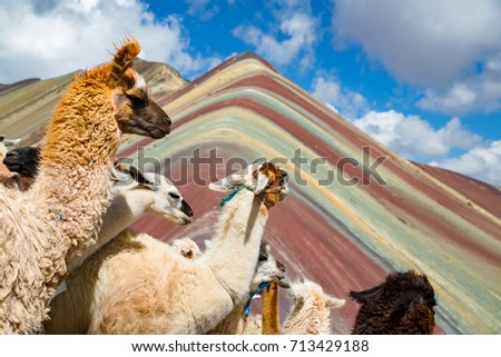 llamas looking to the rainbow mountain. Vinicunca Mountain, Peru, Cusco #713429188