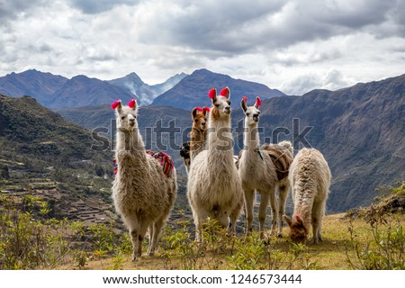 Llamas on the trekking route from Lares in the Andes. #1246573444