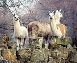 Llamas. South American animals. Guanaco. Llamas are spread in Andes and such South American countries as Argentina, Chile and Peru. Llamas domesticated. Vintage photo. Countryside.