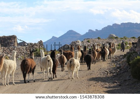 Lllamas and alpacas on their way back home at the base of Volcano Thunupa at the edge of Salar De Uyuni, Bolivia. This picture was taken in May 2017