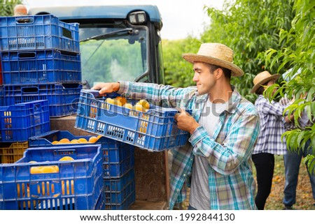 Loading boxes of ripe peaches on tractor platform in the orchard