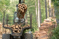 Loading logs on a truck trailer using a tractor loader with a grab crane. Transportation of coniferous logs to the sawmill. Deforestation and exploitation of nature. felling trees
