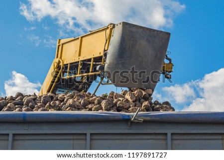 loading the harvested sugar beet harvested by a loader onto trucks for further transportation to the plant
