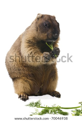 Loafer Marmota bobak otherwise steppe marmot on a white background eats dill