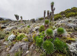 Lobelia deckenii - high altitude Moorland zones unique plant with fogged Dendrosenecio