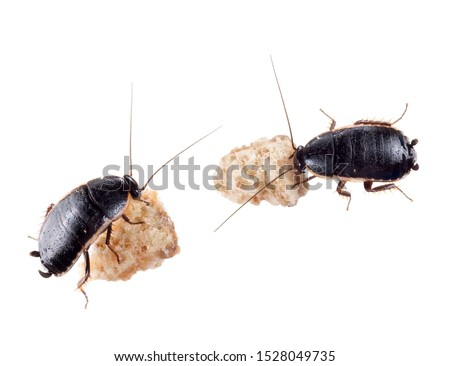 Loboptera decipiens. Small, black European cockroaches, roaches. With crumbs isolated on white.