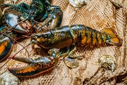 Lobster in the fishing net