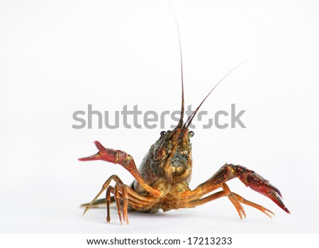 Lobster isolated on white