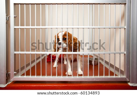 Locked up Cavalier King Charles Spaniel in a daycare cage.