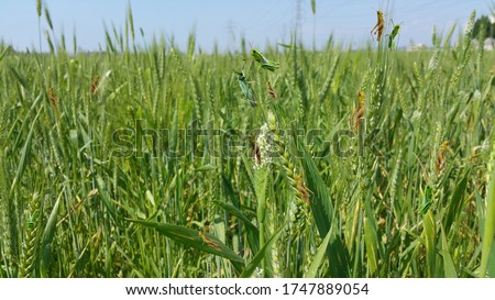 Locust Attack Pakistan. Locust Attack on Pakistani Crops Stock Image. Locusts attack Pakistan and became reason to destroy economy 2020.