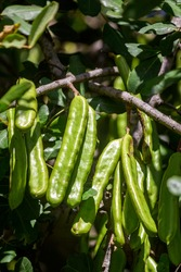 Locust bean unripe carob fruit of Ceratonia siliqua, a flowering evergreen tree native to the Mediterranean, widely cultivated for its edible pods, and as ornamental tree in gardens and landscapes.
