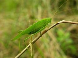 Locust, big Grasshopper in a Meadow on Grass