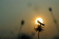 Locust catch on dried flowers. The backdrop matches the sun that is going down the horizon in the evening.