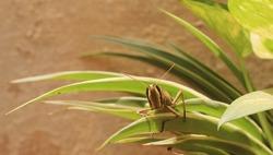 Locust (Grasshopper) in grass. A closeup image of an insect grasshopper.