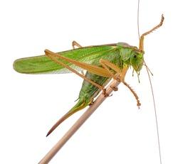 locust, grasshopper isolated on white background