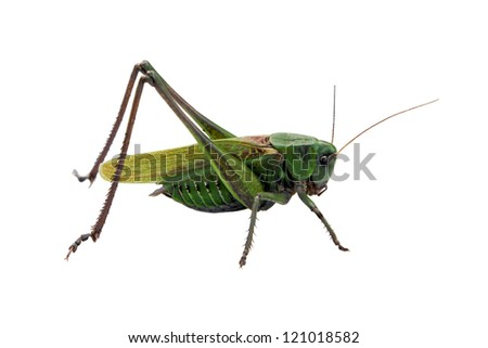 Locust isolated on the white background