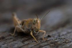 Locust Macro photo. Insect (lat. Dociostaurus moroccanus) close-up. The body structure of the locust. The texture of the surface of the insect. Gray-brown locust. Pest of crops. Gray grasshopper.Bokeh
