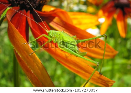 Locust on a flower