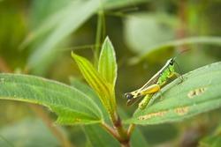 Locust on leaf