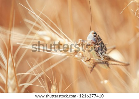 Locust on Wheat grain. Crop damage to whole grain harvest.