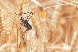 Locust on Wheat grain. Crop damage to whole grain harvest. Acrididae