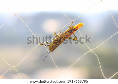 Locust stop on net. Its collection of certain species of short horned grasshoppers. Stockfoto ©