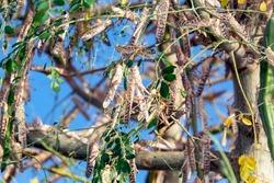 Locust swarm eating a green tree in Al Ain UAE